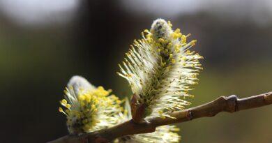 Nature Plants The Basis Of Willow  - gosiak1980 / Pixabay